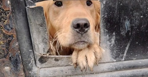 Golden retriever filmed 'crying for help' as he is destined to die at the slaughterhouse