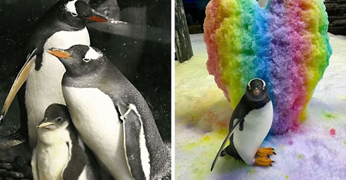 A Second Neglected Egg Hatched By A Gay Penguin Couple After The Zookeepers Notice Them Trying To Hatch A Rock