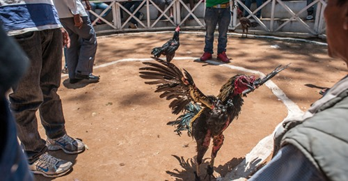 Rooster fitted with a knife kills its owner during an illegal cockfight