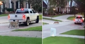 A pet tiger on the loose was filmed roaming around a West Houston neighborhood on Sunday