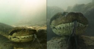 Divers captured face to face footage with anaconda